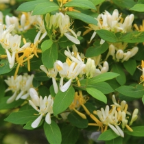 Lonicera-xylosteum