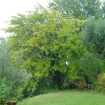 Morus-nigra