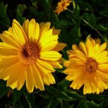 Гелиопсис 'Sommersonne'