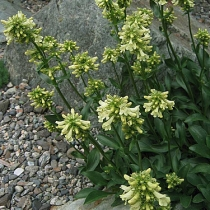 Penstemon-confertus