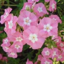 Флокс однолетний крупноцветковый 'Aquarelle'