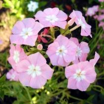 Флокс однолетний крупноцветковый 'Leopold'