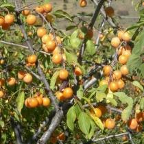 Prunus divaricate