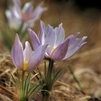 Pulsatilla-patens-Pasqueflower