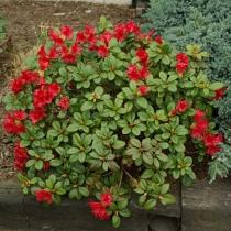 Rhododendron-Scarlet-Wonder