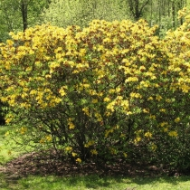 Rhododendron-luteum