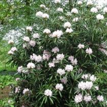 Rhododendron-makinoi