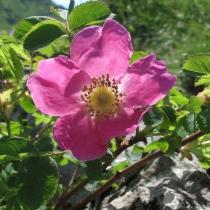 Rosa-alpina