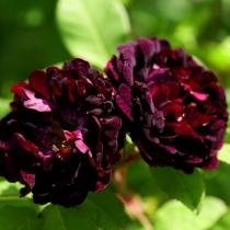Rosa-gallica-hybrid