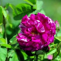 Rosa-gallica