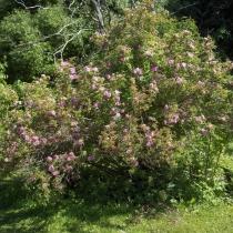 Rosa-majalis-Foecundissima