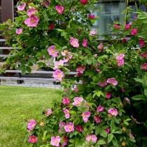 Rosa-majalis