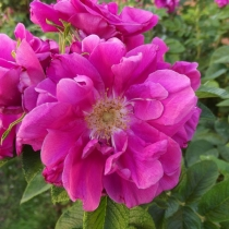 Rosa-rugosa-Hansa