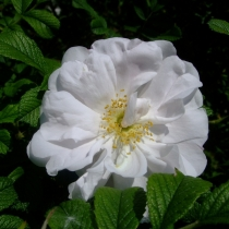 "Rosa-rugosa ""Henry Hudson"""