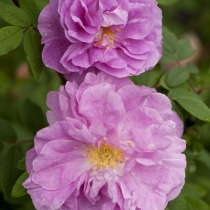 Rosa-rugosa-Therese-Bugnet