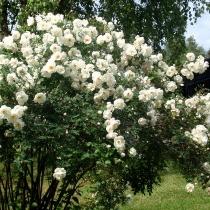 Rosa-spinosissima-Plena