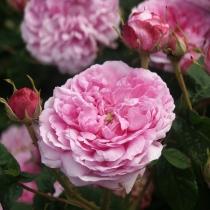 aimable-amie-rosa-gallica-hybrid