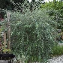 Salix-acutifolia-Pendulifolia