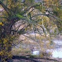 Salix-alba