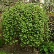 Salix-caprea_Kilmarnock