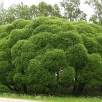 Salix-fragilis_Bullata
