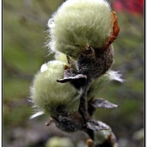 Salix-lanata