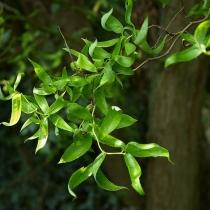 Salix-matsudana