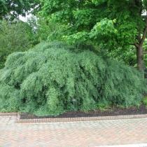 Salix-purpurea-Nana