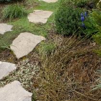 Salix-repens