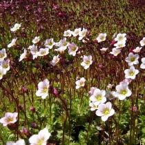 Камнеломка Арендса 'Floral Carpet'