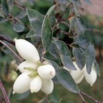 Symphoricarpos-occidentalis
