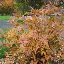 Sorbus sambucifolia