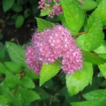 Spiraea-bumalda-Anthony-Waterer
