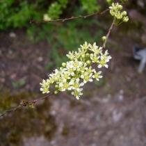 Spiraea-hypericifolia
