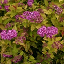 Spiraea-japonica-Golden-Princess