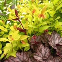 Spiraea-japonica-Goldflame-Heuchera