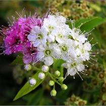 Spiraea-japonica-Shirobana