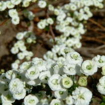 Spiraea-prunifolia-var.-plena