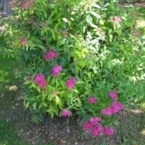 Spiraea_bumalda_Anthony_Waterer