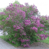 Syringa chinensis