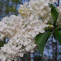 Syringa vulgaris 'Avalanche'
