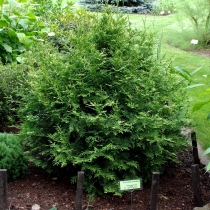 Thuja-occidentalis-Aureospicata