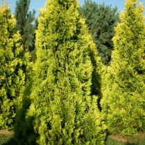 Thuja-occidentalis-Barabits-Gold