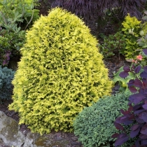 Thuja-occidentalis-Sunkist