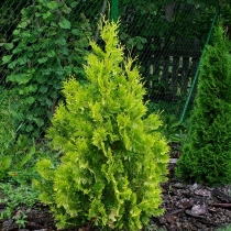 Thuja-occidentalis-Yellow-Ribbon