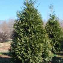 Thuja-plicata-Green-Giant