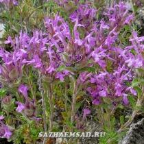 thymus granatensis