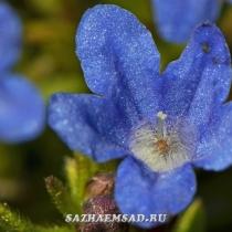 Воробейник раскидистый Heavenly Blue