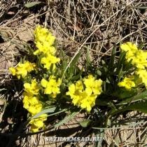 Lithospermum incisum 'Yellow Stoneseed'