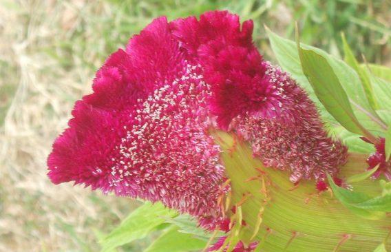 Celosia argentea var. cristata, by Marina Kurnosowa